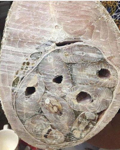 Желудок нельмы в разрезе