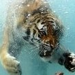 tigrok
